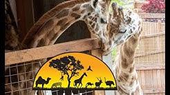 Oliver & Johari Giraffe Cam - Animal Adventure Park