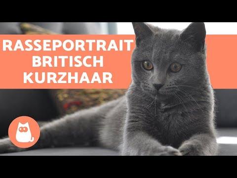 britisch-kurzhaar---charakter-und-pflege