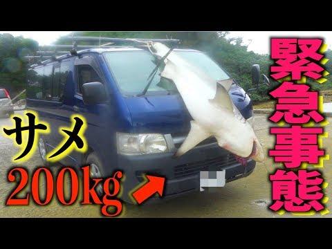 200キロのサメをハイエースで運搬し、解体、調理!【200キロサメ討伐#3】