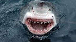 Shark Attack - Great White Shark Attacks Boat