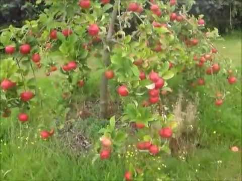 Orchard walk August 27-pears, plums, apples, wasps, broken branches