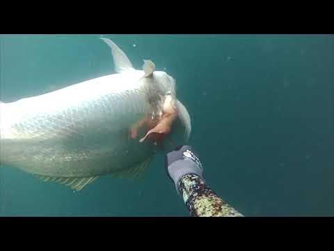 Spearfishing Jobfish, Mulloway, Snapper & Mackerel In Queensland