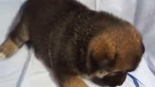 関西・中部の有色紀州犬子犬販売 http://www.moo-pon.com/kisyu 三重県...