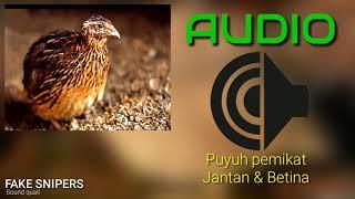 Download Mp3 Suara Pemikat Puyuh Hutan_ Fake Snipers