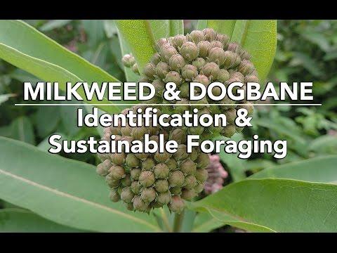 Milkweed & Dogbane —Identification & Sustainable Foraging with Adam Haritan
