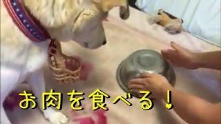 お肉を食べる犬、美味しそうにがっついて食べる姿がかわいい!おもしろ...