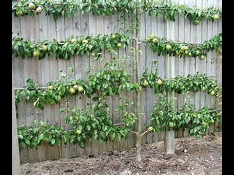 Tricks To Grow Fruit Trees in SMALL Spaces!