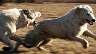 Central Asian Shepherd Dogs - Barbar and Baska II.