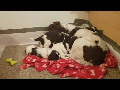 Grandma Wixy Puppy Sitting Tias Pups.  English Springer Spaniels, ESS Puppy, Puppies Puppy 4 Weeks O