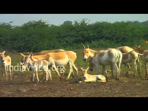 Wild Asses in Little Rann of Kutch, Gujarat