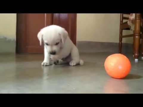 Cute Labrador Retriever puppy playing