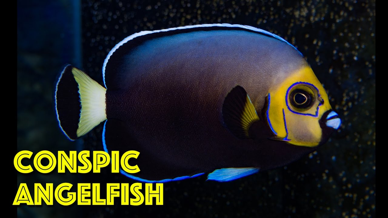 rare conspicuous angelfish youtube