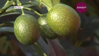 Астанадағы бақта банан ағашы алғаш рет жеміс берді (21.02.19)