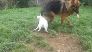 German Shepherd Dog 1 Year Old Vs Golden Retriever 12 Weeks Puppy Girl. Tail Attack !funny
