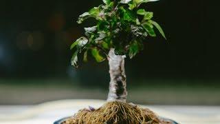 Black Pearl Ornamental Pepper Capsicum annuum indoor fusion bonsai bonchi, repot - May 2017