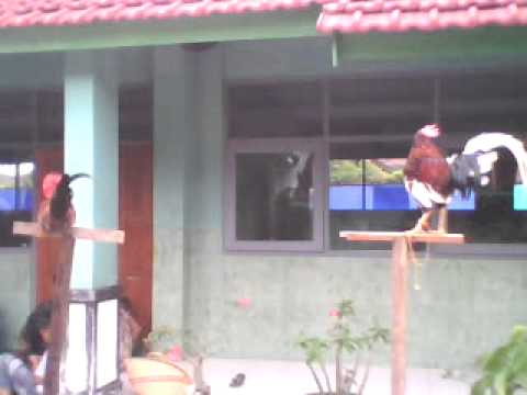 Latihan Ayam Gaga 2nd.3gp Travel Video