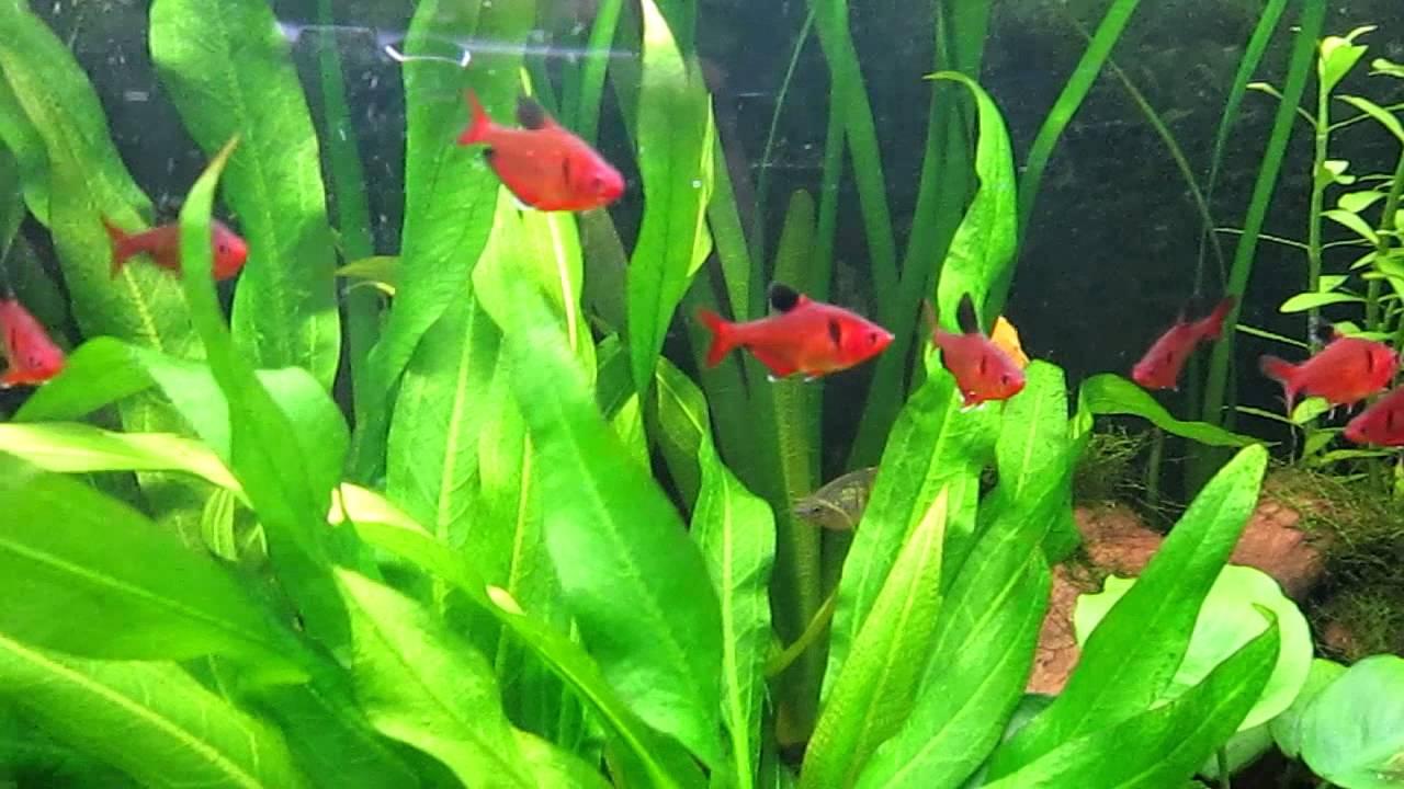 Red Serpae Tetra | PetSolutions