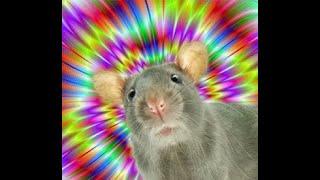 cum de a face șobolanul de companie pierde în greutate)
