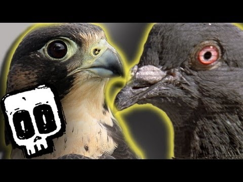 Peregrine vs Pigeon: Deadliest Showdowns (Ep 1) - Earth Unplugged