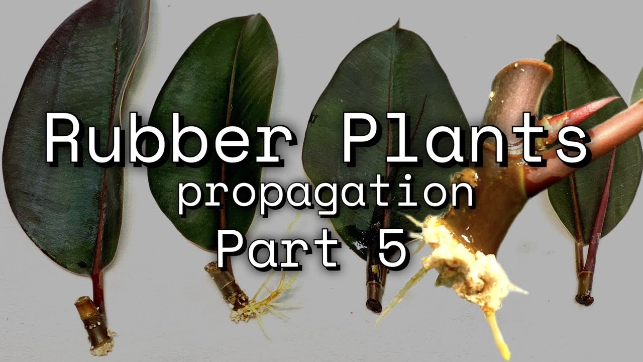 Download Rubber Plant Ficus Elastica Care and Propagation | Water and Soil Propagation Update | Indoor Plants
