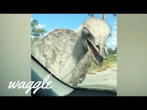 Australian Animals Be Like | Funny Animal Compilation