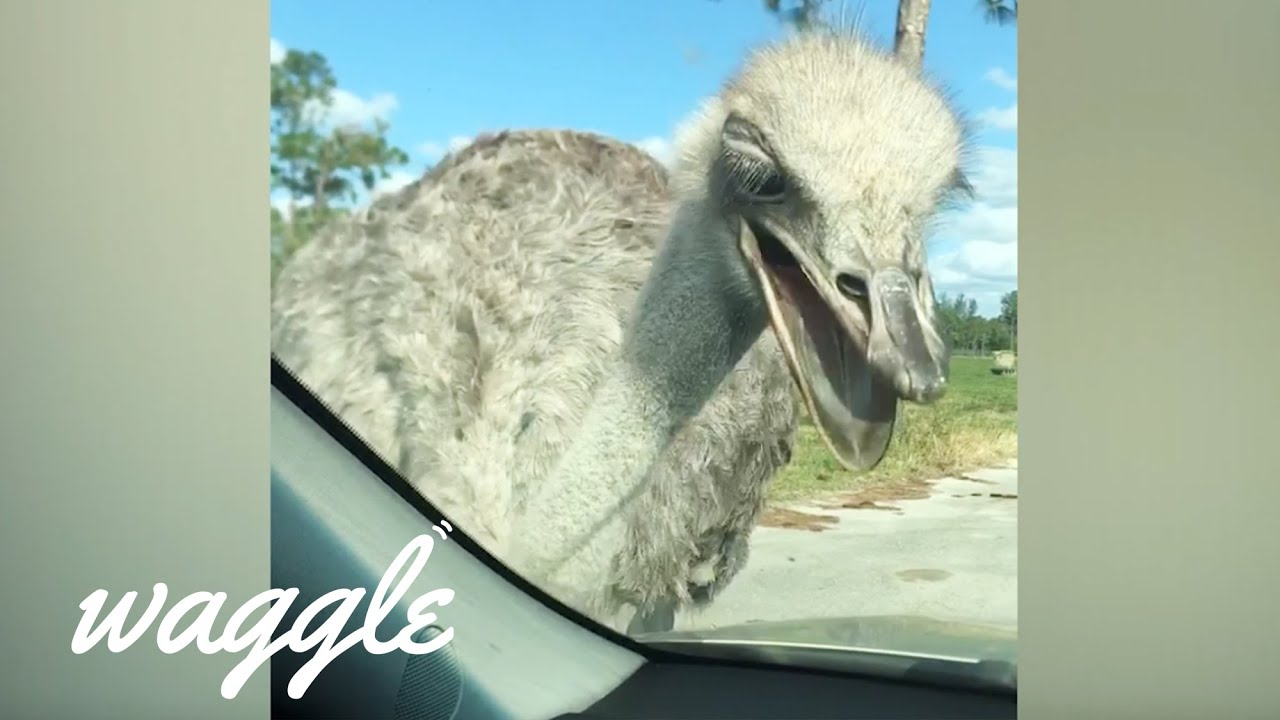 Australian Animals Be Like | Funny Animal Compilation