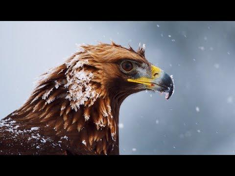 Aigle royal : le maître des Alpes - ZAPPING SAUVAGE