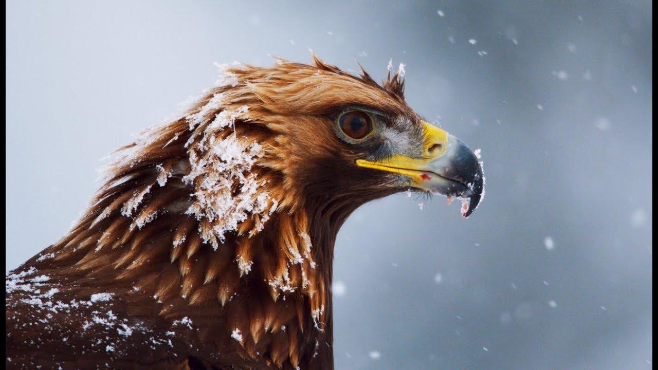Préféré Aigle royal : le maître des Alpes - ZAPPING SAUVAGE - YouTube SQ44