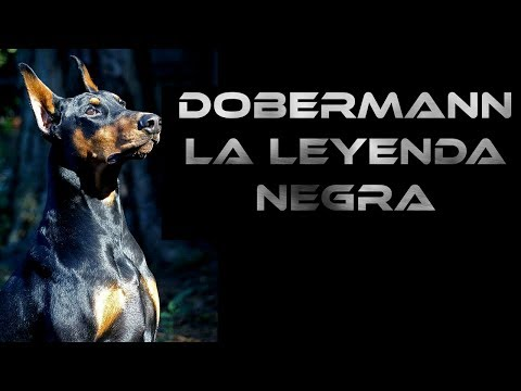 Doberman, su carcter, sus leyendas y consejos
