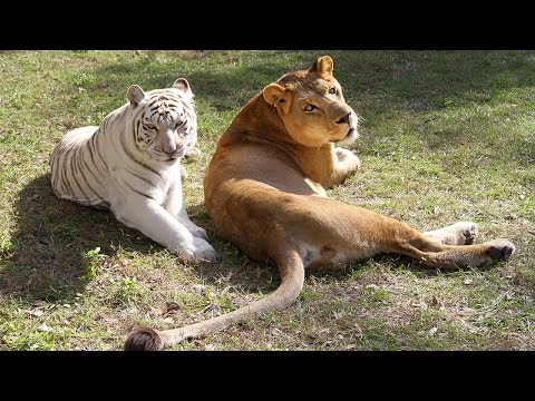 A Lion and Tiger Vacation