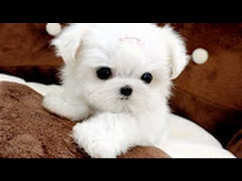 Cute Dogs | Cutest Dog in The World | Cute White Puppies Videos Compilation 2017
