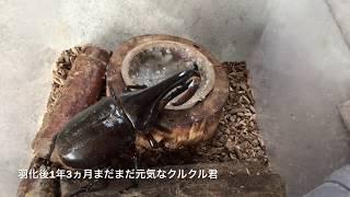 「江田島レッドアイ」今年も純血を保って累代継続できました^_^