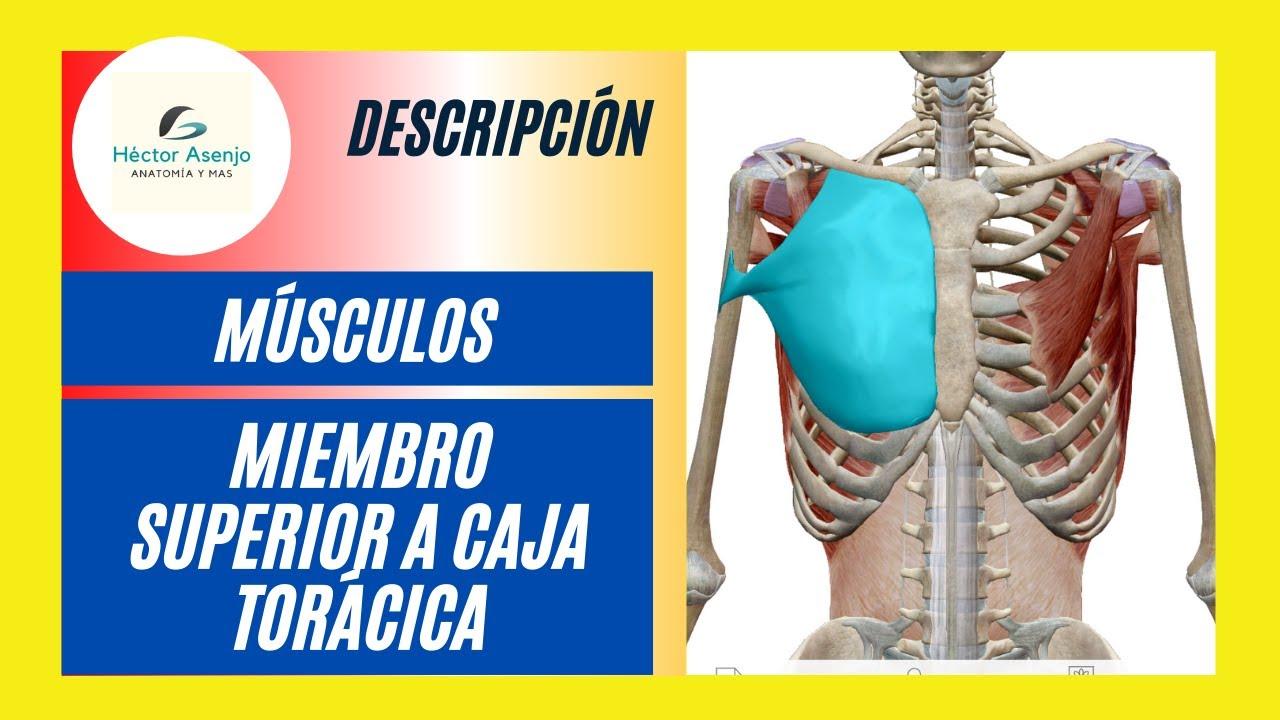 Músculos que unen el miembro superior a la caja torácica - YouTube