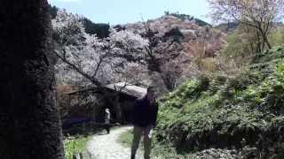 Cherry Blossoms Around Japan: Mt. Fuji and Nara ★ WAO! RYU ONLY in JAPAN #8