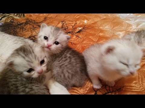 Шотландские котята - 2 недели !