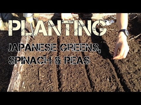Planting Japanese greens, spinach and peas