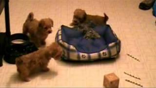 Yo-chon Puppies