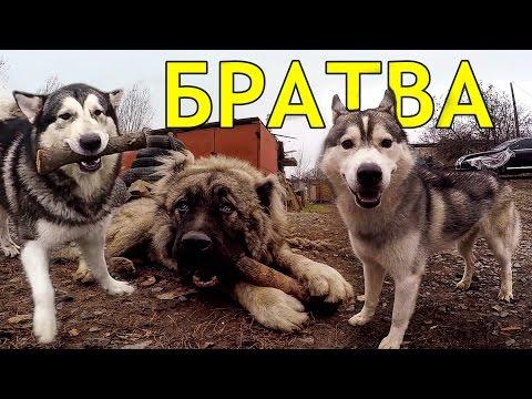 схватка собак, кобели сцепились, ужасная драка 2017 хаски против овчарки
