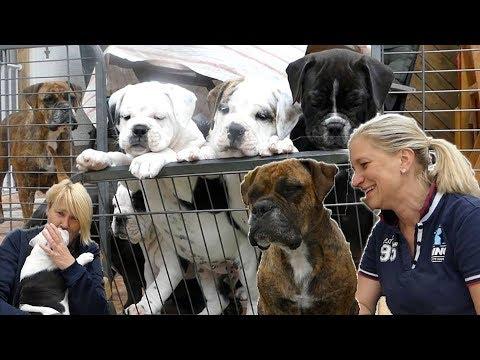 Continental Bulldoggen Welpen...ich Bin Verliebt!!!