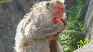 """I continue to record the life of the female monkey named """"Tokkuri 0..."""