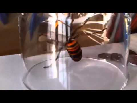 Giant Sparrow Hornet - Caught This Deadly Bug in my Hotel Room!