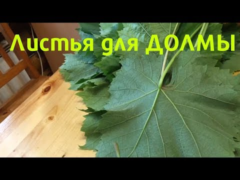 Заготовка Виноградных Листьев Для Долмы | ЛИСТЬЯ ДЛЯ ДОЛМЫ.