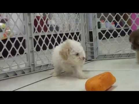 Toy Poodle, Puppies For Sale, In Mobile, County, Alabama, AL, 19Breeders, Tuscaloosa, Decatur