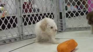 Toy Poodle, Puppies, Puppies , For, Sale, In Staten Island, New York, Ny, Brooklyn, County, Borough