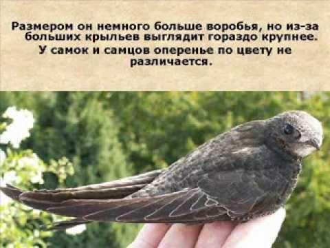 Чёрный стриж. Вся жизнь в полете