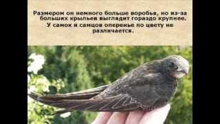 Видеоролик Черный стриж   птица 2014 года