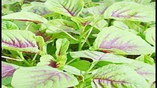 अगर घर में उग आया है ये पौधा तो इसे भूलकर भी ना उखाड़ें, वरना पछताना पड़ेगा...
