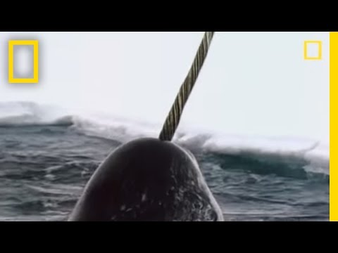 Narwhals | National Geographic
