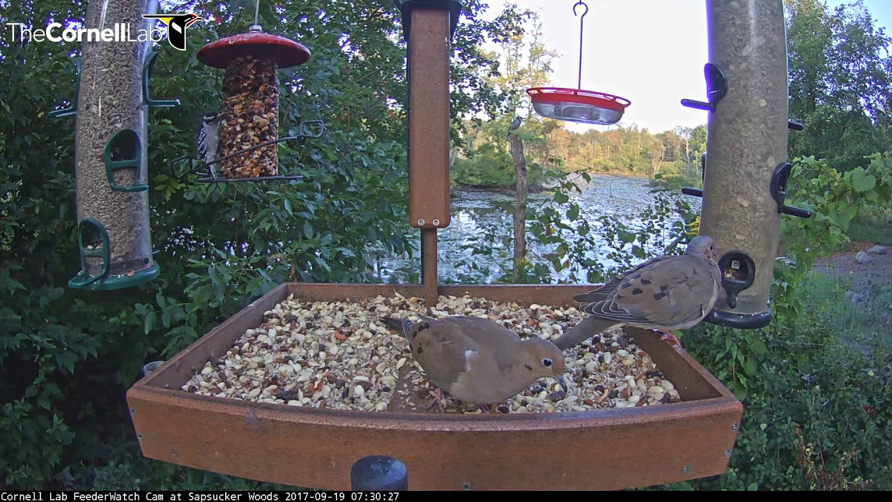 How To Get Rid Of Mourning Doves At Feeder