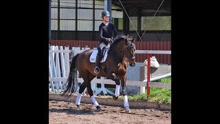 Quadriga: Tall dressage mare/school master for not so experienced rider